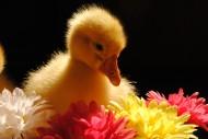 小鸭子图片(16张)