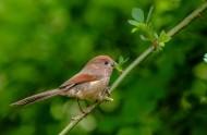 棕头鸦雀图片(6张)