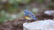 红胁蓝尾鸲图片(11张)