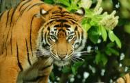 极危品种之苏门答腊虎图片(15张)