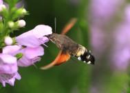 蜂鸟鹰蛾图片(12张)