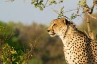 丛林中的豹子图片(15张)