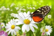 花朵上的蝴蝶图片(7张)