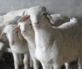 可爱的羊图片(20张)