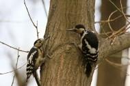 大斑啄木鸟图片(8张)