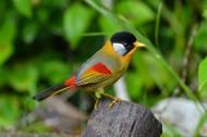 银耳相思鸟图片(5张)
