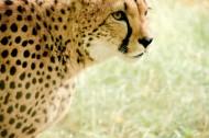 凶猛的猎豹图片(10张)