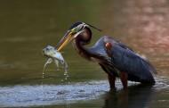 捕鱼的草鹭图片(10张)