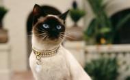 暹罗猫图片(13张)