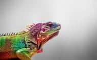 颜色艳丽的变色龙图片(21张)