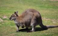 袋鼠图片(14张)