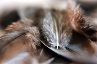 唯美鸟的羽毛图片(10张)