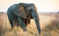 非洲草原上散步的大象图片(8张)