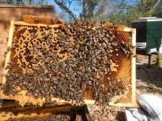 蜂箱里的蜜蜂图片(16张)