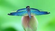 蓝色蜻蜓图片(18张)