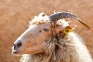 温顺的山羊图片(10张)