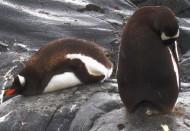 南极企鹅图片(13张)