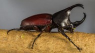 力大惊人的犀牛甲虫图片(15张)