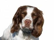 英国跳猎犬图片(27张)