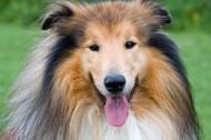 苏牧(苏格兰牧羊犬)图片(18张)