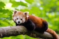 可爱的小熊猫图片(15张)