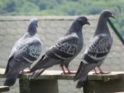 灰色的鸽子图片(16张)