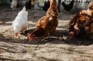 鸡在地上走的图片(15张)