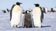 南极萌态十足的企鹅图片(12张)