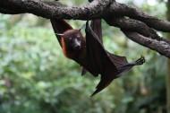 蝙蝠图片(8张)