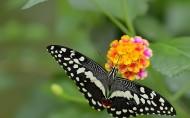 彩色的蝴蝶图片(9张)