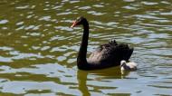 湖里的黑天鹅图片(16张)