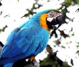 色彩漂亮的黄蓝金刚鹦鹉图片(15张)