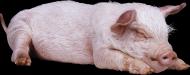 小猪透明背景PNG图片(16张)