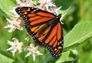 具有迁徙性的黑脉金斑蝶图片(15张)