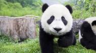国宝大熊猫图片(15张)