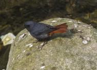 安静的红尾水鸲图片(12张)
