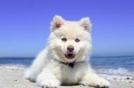 白色的小狗图片(13张)