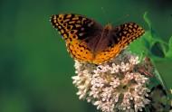 张开翅膀的蝴蝶图片(15张)