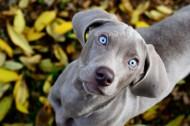 威玛猎犬图片(6张)