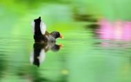 荷塘黑水鸡图片(5张)