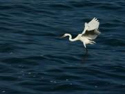 水上觅食的鹭图片(8张)