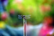 荷塘的蜻蜓图片(12张)