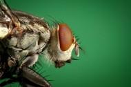 让人讨厌的苍蝇图片(14张)