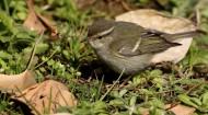 柳莺图片(10张)