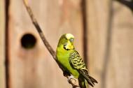 黄绿相间的虎皮鹦鹉图片(15张)