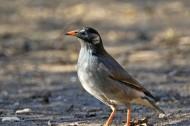 灰椋鸟图片(8张)