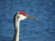 头顶鲜红羽毛的沙丘鹤图片(15张)