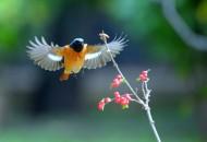 展翅北红尾鸲图片(5张)