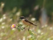 黑喉石鵖鸟类图片(11张)