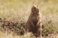 草原土拨鼠图片(12张)